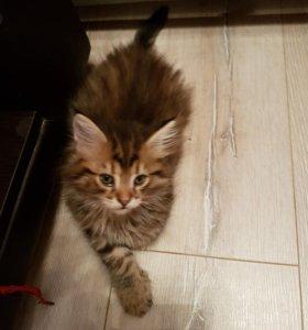 Котята мейкунята.