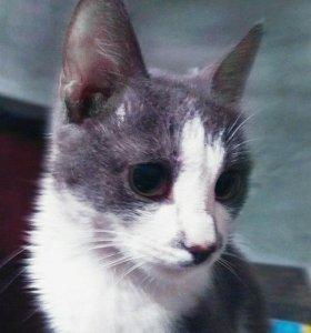 Котик, смесь кошки японского бобтела и обычного