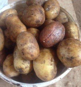 Картофель из ямы