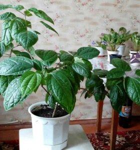Клеродендрум (дерево судьбы)