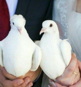 Свадебные голуби на свадьбу
