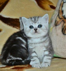 Шотландский котик!!!