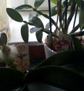 Две орхидеи