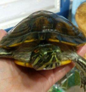 Красноухая черепаха и аквариум 20 л.