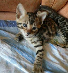 Бенгальские котята, кошечка, контрастная розетка