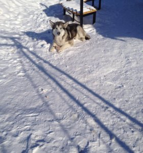 Вязка ( аляскинский маламут)