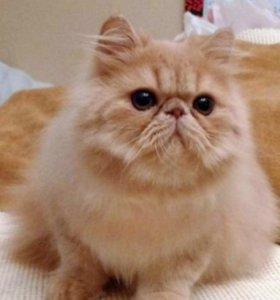 Вязка Персидский кот