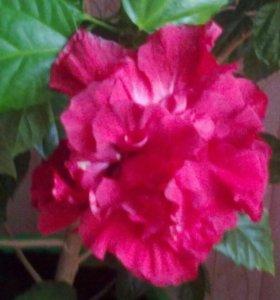 Китайская роза(отростки укорененные)