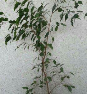 Фикус.Комнотные растения.