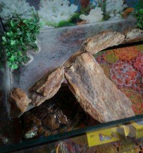Водоплавающая красноухая черепаха. ЕЩЁ НЕ ПРОДАЛИ!