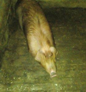Продам мясо свиньи