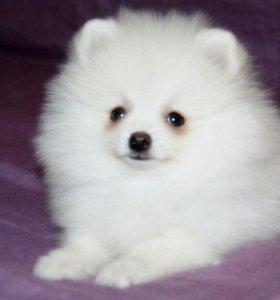 Миниатюрный Померанский шпиц - белоснежный мальчик