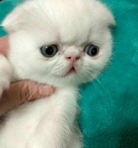 Котик перс-азиат
