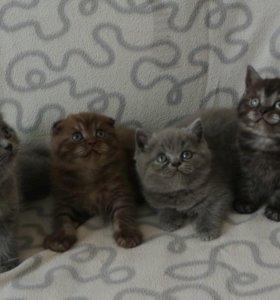 Очень плюшевые шотландские котятки
