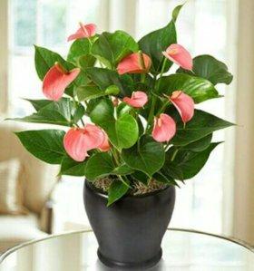 Антуриум розовый 60 см