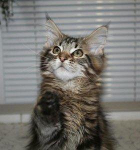 Котята- гиганты