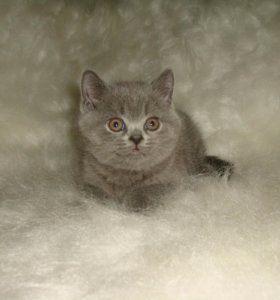 Продается котенок