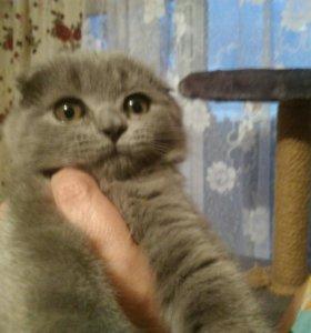Шотладские вислоухие котята