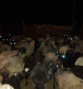 Овца матка
