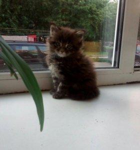 Котята породы Мейн-Кун''