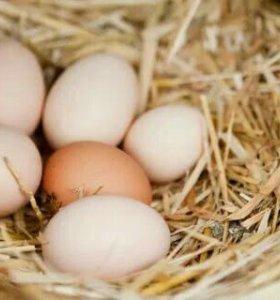 Домашние куриные яйца.