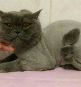 Британский кот, стрижка шерсти и когтей