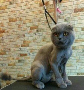 Стрижка шотландского кота, кошки