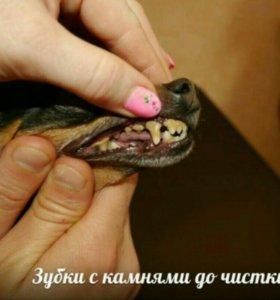 Чистка, полировка зубов той-терьеру