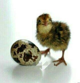 Цыплята перепелов. Суточные и старше.