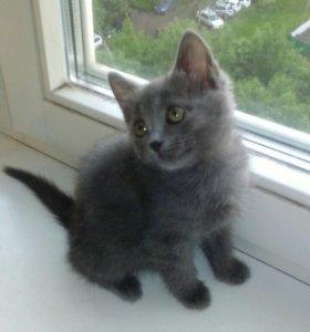 Котёнок русско-голубой