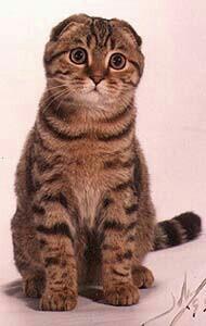Кот и кошка шотландской висдоухой