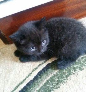 Шотланские котята