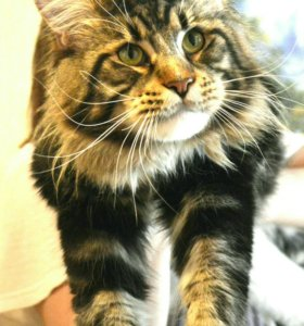 Мейн кун вязка с титулованным котом