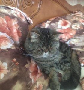 Вязка котик экзот