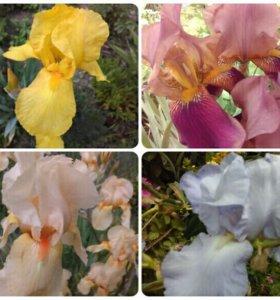Ирисы всех цветов
