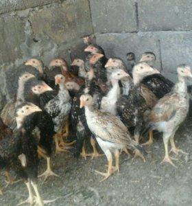 Бойцовые цыплята