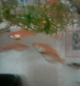 Меченосцы оранжевые,черные,тигровые
