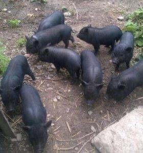 Продам или обменяю вьетнамских свиней