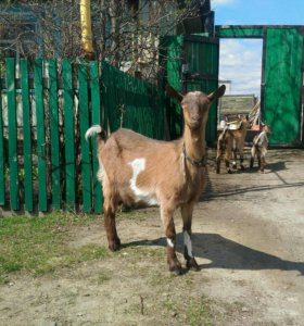 Коза чешской породы