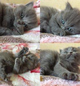 Британский котенок(хайленд)