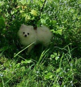 Шпиц (малый), щенок