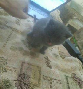 Котенок 1 месяц (мальчик)