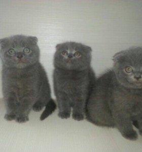 Вислоухие котята скотиш-фолд