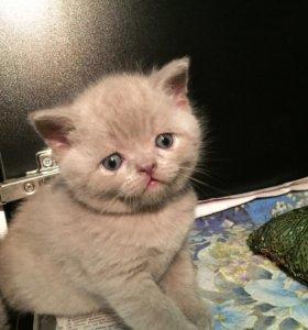 Скоттиш страйт и фолд Шотландские вислоухие)котята