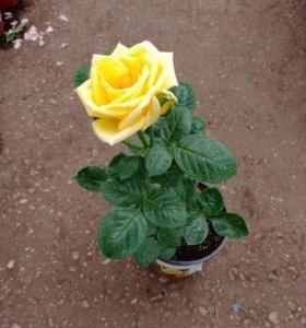Роза Флорибунда (саженцы)
