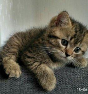 Британские котята 1.5 месяца