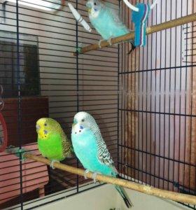 Волнистый попугайчик мальчик