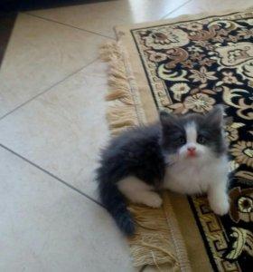 Котята (1,5 мес.)
