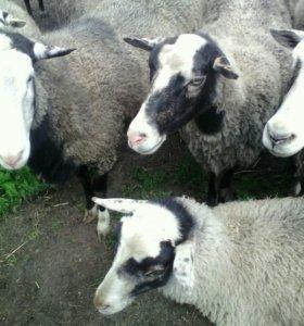 Овцы рамановские