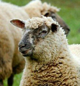 Бараны,овечки,ягнята